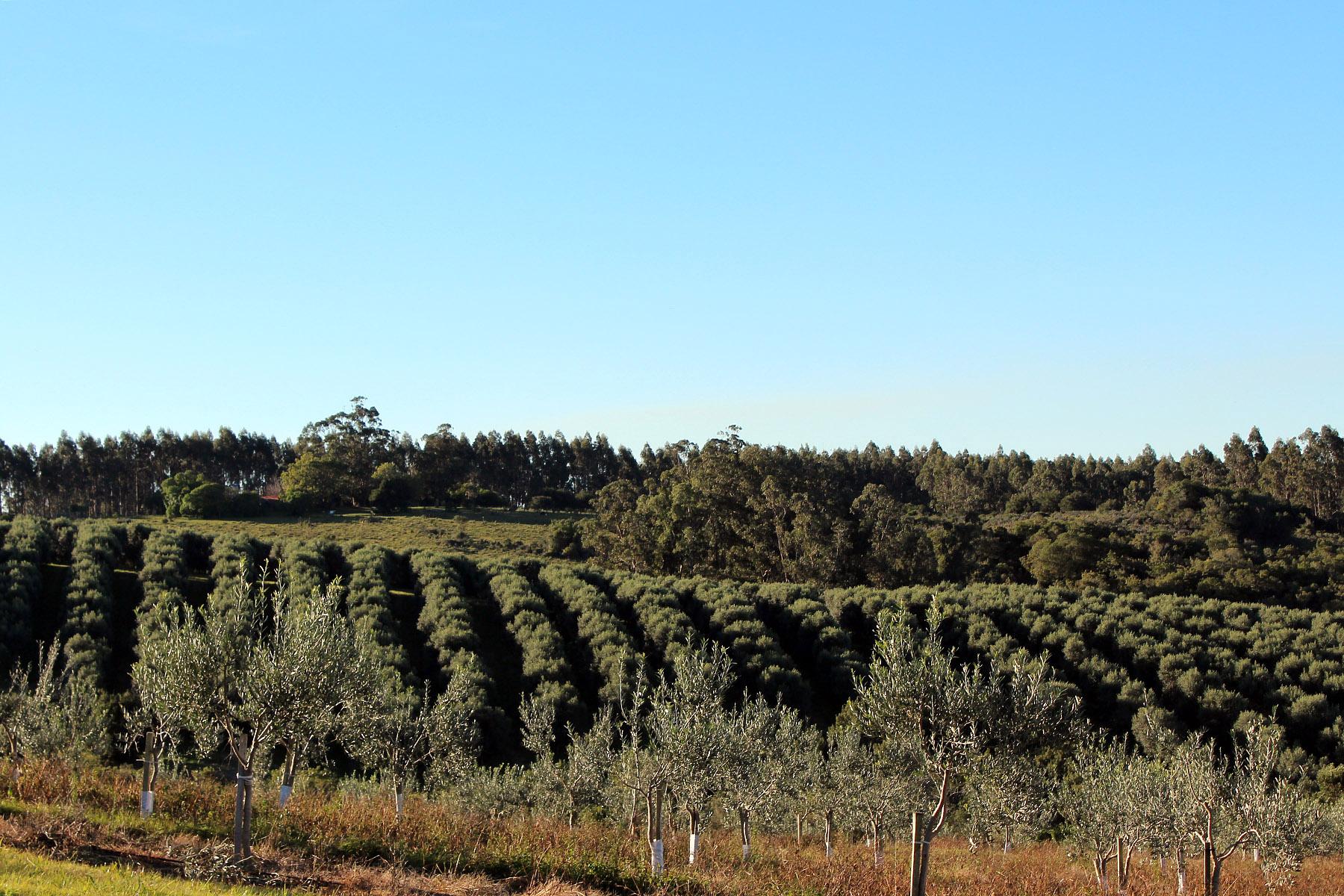 农场 / 牧场 / 种植园 为 销售 在 Spectacular 212 ha olive grove Ruta 9 Rocha, 罗恰 27000 乌拉圭