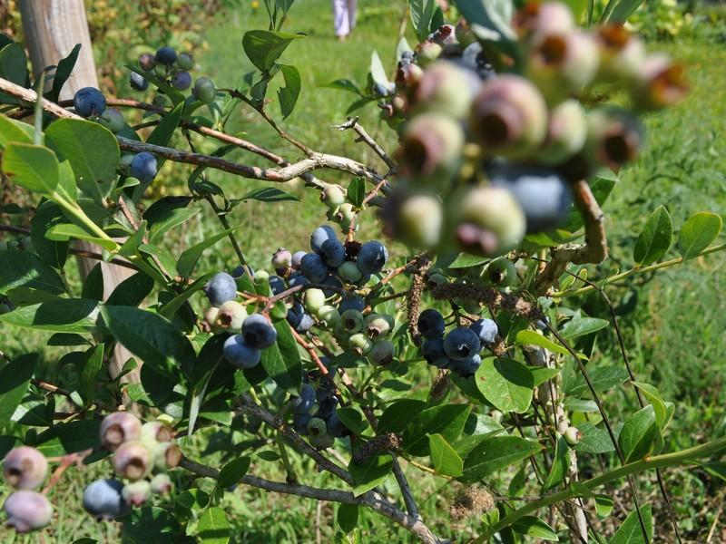 Sequoyah Blueberries